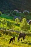 Chevaux frôlant sur le pré Photos libres de droits