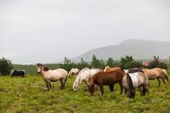 Chevaux frôlant dans la vallée, Islande Image stock