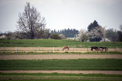 Chevaux frôlant dans le corral sur un pré vert près d'un petit village photographie stock libre de droits