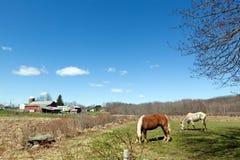 Chevaux frôlant dans le pâturage Photos libres de droits