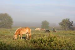Chevaux frôlant dans le pâturage de ferme au lever de soleil brumeux Images stock