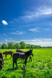 Chevaux frôlant dans le pâturage vert Photos libres de droits