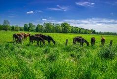 Chevaux frôlant dans le pâturage vert Photo stock
