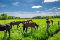 Chevaux frôlant dans le pâturage vert Image libre de droits