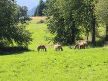 Chevaux frôlant dans le pré vert des montagnes en été images libres de droits