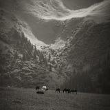 Chevaux frôlant dans les montagnes Image libre de droits