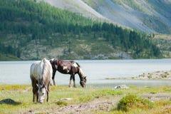 Chevaux frôlant sur le lac Akkem Photo stock