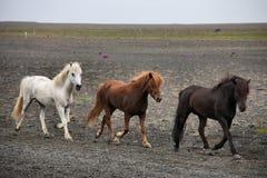 Chevaux islandais image libre de droits