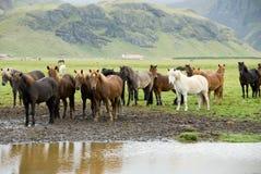 Chevaux islandais Photographie stock