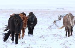 Chevaux islandais Photo libre de droits