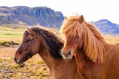 Chevaux islandais photos stock