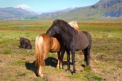 Chevaux islandais Images libres de droits