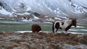 Chevaux islandais banque de vidéos