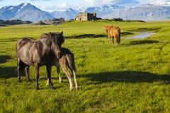 Chevaux islandais avec des ruines et des montagnes photographie stock