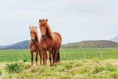 Chevaux islandais avec du charme dans un pâturage avec des montagnes Image stock