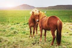 Chevaux islandais avec du charme dans un pâturage avec des montagnes Image libre de droits