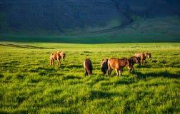 Chevaux islandais avec du charme dans un pâturage avec des montagnes au CCB Photographie stock