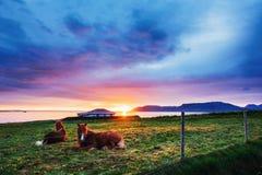 Chevaux islandais avec du charme dans un pâturage avec des montagnes à l'arrière-plan Image libre de droits