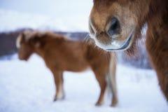 Chevaux islandais dans l'horaire d'hiver Images libres de droits
