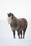 Chevaux islandais dans l'horaire d'hiver Images stock