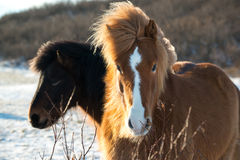 Chevaux islandais en hiver, Islande images stock