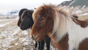 Chevaux islandais en plan rapproché d'hiver banque de vidéos