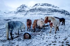 Chevaux islandais forts photos libres de droits