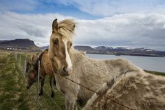 Chevaux islandais, Islande photographie stock libre de droits