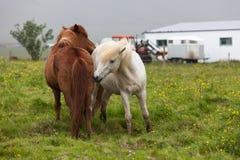Chevaux islandais près de la ferme Image stock