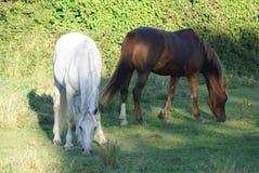 Chevaux mangeant l'herbe Image stock