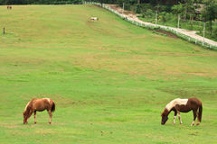 Chevaux mangeant l'herbe dans la ferme Photos libres de droits