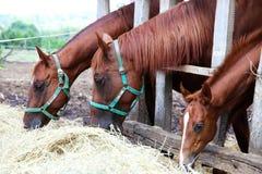 Chevaux mangeant l'herbe derrière la vieille barrière en bois Photographie stock libre de droits