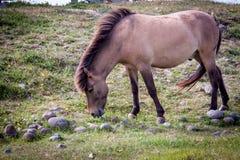 Chevaux mangeant l'herbe en Islande Photo stock
