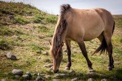 Chevaux mangeant l'herbe en Islande Photos stock