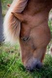 Chevaux mangeant l'herbe en Islande Photographie stock libre de droits