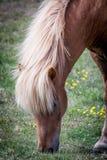 Chevaux mangeant l'herbe en Islande Images stock