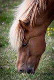 Chevaux mangeant l'herbe en Islande Photographie stock