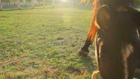 Chevaux mangeant l'herbe luxuriante à la ferme, beaux animaux gracieux, pâturage vert banque de vidéos