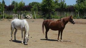 Chevaux marchant autour à la ferme de cheval un jour ensoleillé banque de vidéos