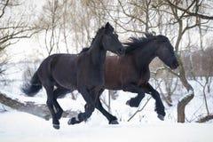 Chevaux noirs courant le galop dans la forêt d'hiver Photos stock