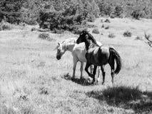 Chevaux noirs et blancs sur un pâturage Image libre de droits