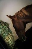 Chevaux noirs et bruns dans la stalle et le pâturage Images stock