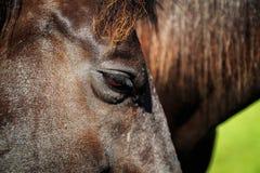 Chevaux noirs et bruns dans la stalle et le pâturage Photographie stock