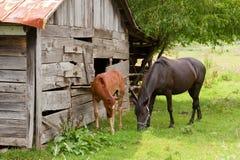 Chevaux par la grange Photos libres de droits