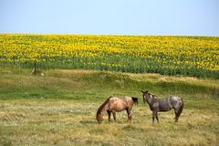 Chevaux par Sunflower Field Image stock