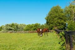 Chevaux portant les masques de mouche aux pâturages verts des fermes de cheval image stock
