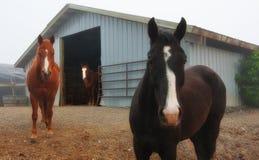 3 chevaux regardant fixement, Washington State Photos libres de droits