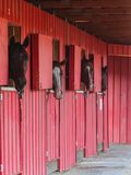 Chevaux regardant la cuvette la fenêtre d'une grange rouge Photographie stock