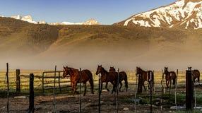Chevaux retournant au corral de ranch près de Bridgeport, la Californie image stock