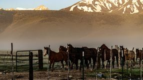 Chevaux retournant au corral de ranch près de Bridgeport, la Californie photos libres de droits